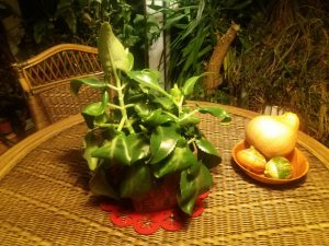 Żyworódka pierzasta – ozdoba i remedium w doniczce