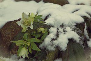 Ciemiernik – kwiat domowy, nie tylko ogrodowy