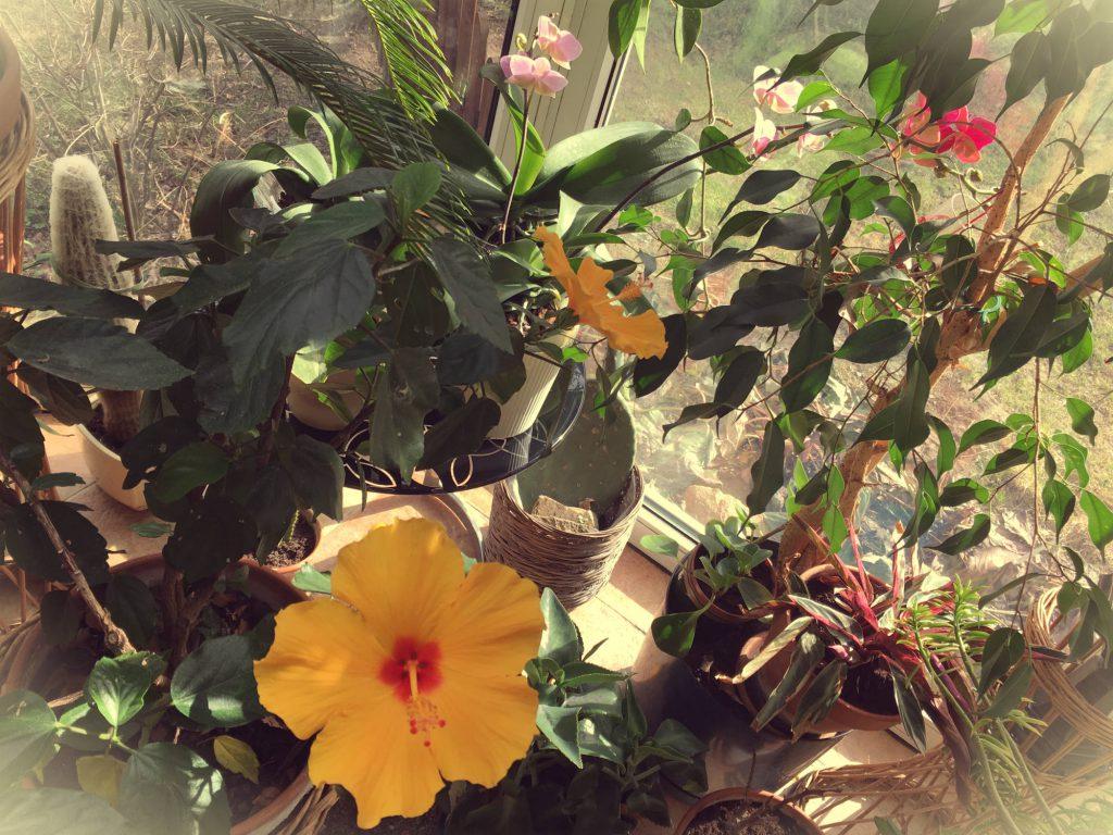 Hibiskus – aromatyczny grzaniec ozdobny